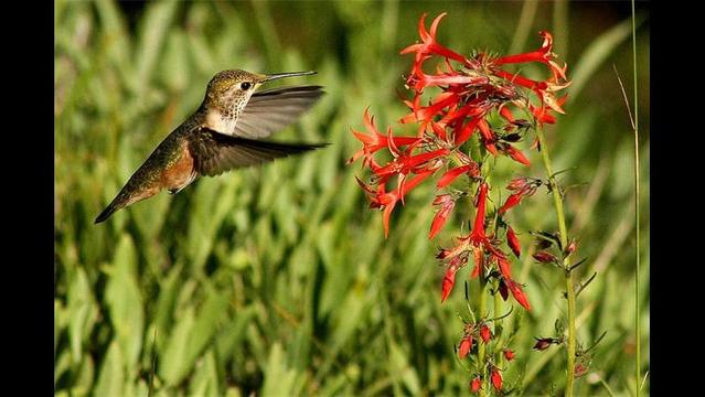 How to feed hummingbirds