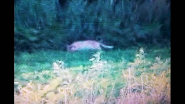 Possible Large Cat Photographed Near Janesville