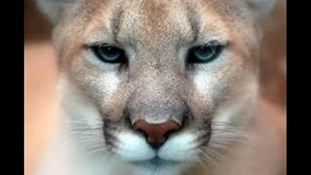 UPDATE: Possible Cougar Sighted In Janesville