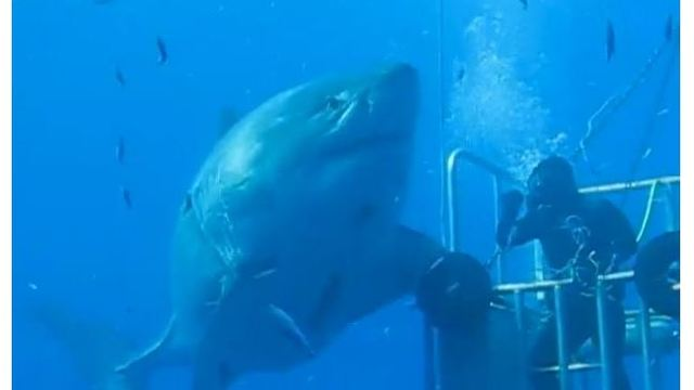 20-foot Great White Shark Deep Blue may be largest ever filmed