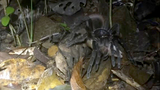 WATCH: Tarantula 'the size of a dinner plate' drags away baby opossum